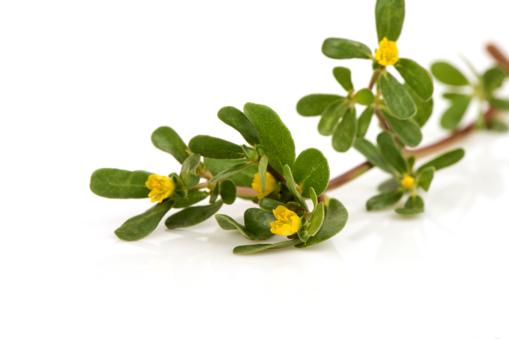 branch of purslane