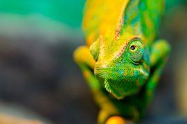 are chameleons reptiles