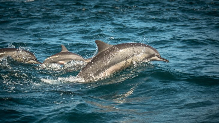 In a new study published by Frontiers, experts have found that dolphins can slow down their heart rate before diving to conserve oxygen and prevent issues associated with pressure.