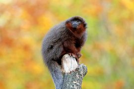 Coppery titi monkeys are extremely loyal to their mates, according to research from the German Primate Center (DPZ).