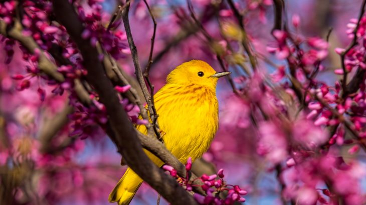 A new study from Penn State may help to explain how warblers rapidly diverged into so many unique species.