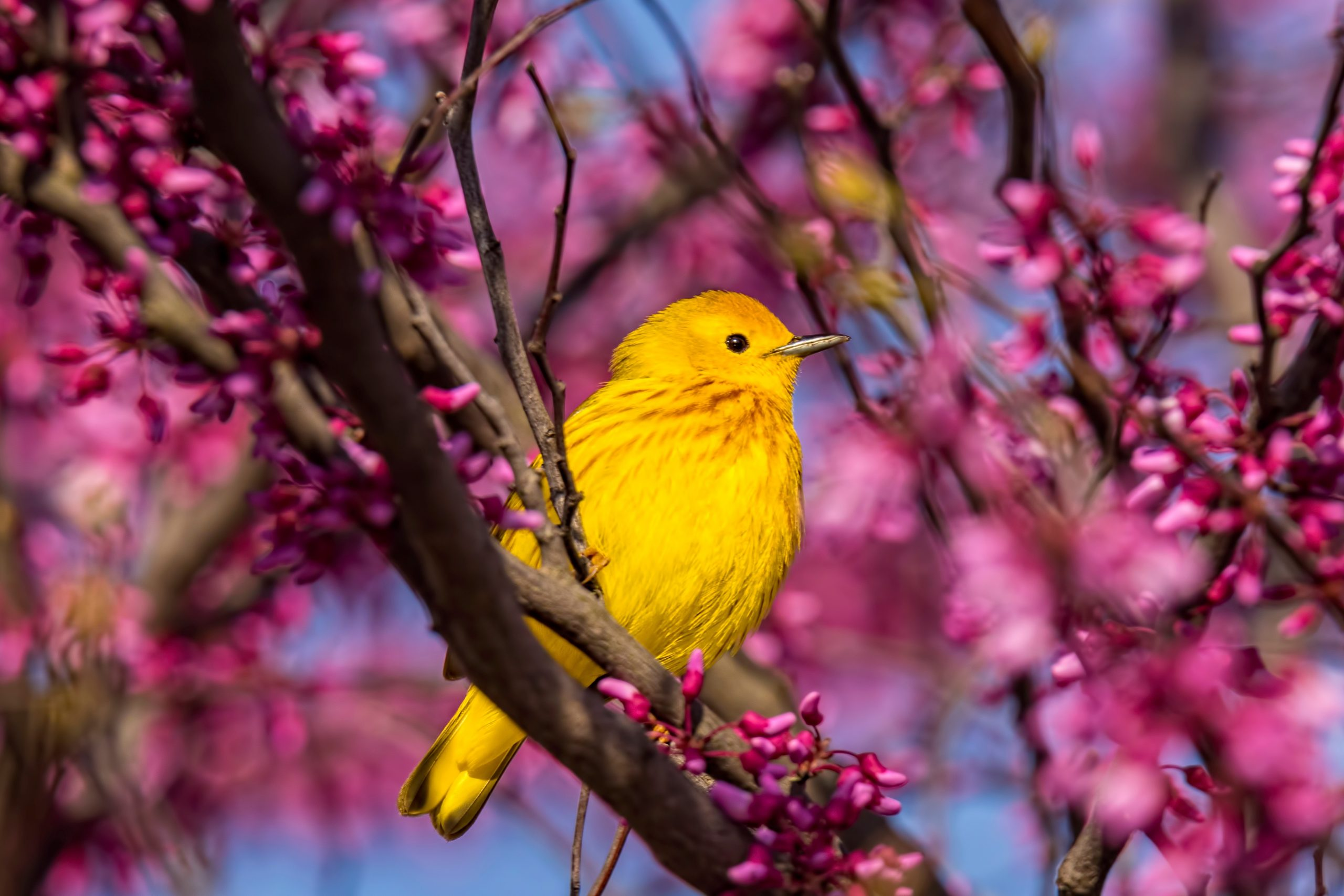 Two genes are responsible for the rapid diversification of warblers - Earth.com