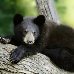 In a new study from North Carolina State University, however, scientists have discovered that black bears seem to be an exception. These animals host a microbial population that is basically consistent across the intestinal tract.