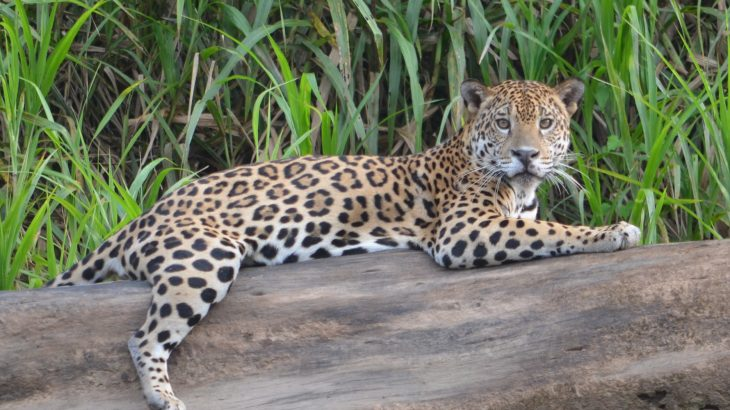 Jaguars in the Peruvian Amazon will be able to handle climate change in the short-term, but could become severely threatened as extreme weather events increasingly interfere with food resources