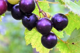 Plant compounds found in muscadine grapes, dark chocolate, and green tea can bind to and inhibit the coronavirus' main protease (Mpro), which plays a key role in viral gene expression and replication.