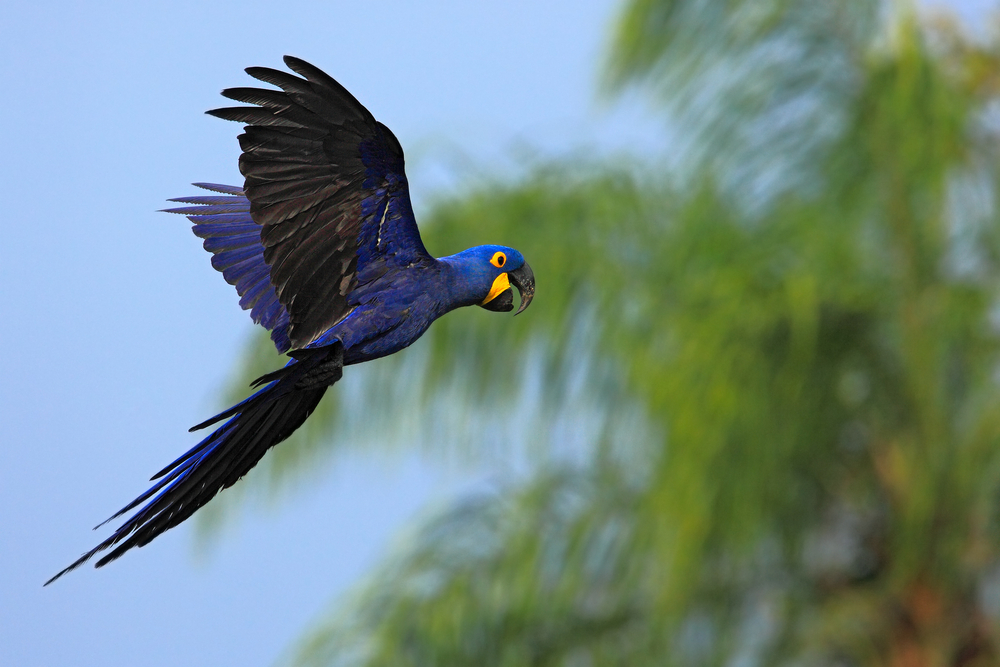 flying blue macaw