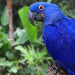 blue macaw