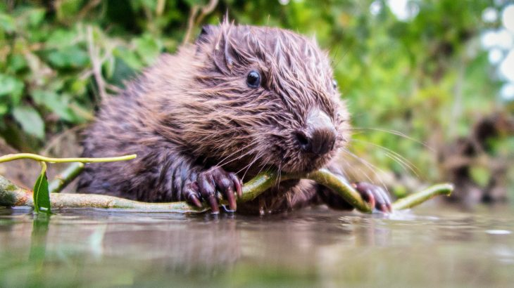 Beavers can help support amphibians that are threatened by climate change, according to a study from Washington State University