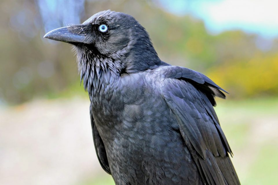 By just four months of age, the cognitive abilities of ravens may be comparable to those of adult great apes, according to a new study published in Scientific Reports.