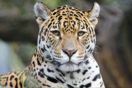 Today's Video of the Day from the Queensland University of Technology describes how climate change may impact the jaguar, the dominant predator of Central and South America.