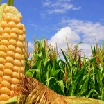 In a new study from UC Santa Barbara, scientists have uncovered new details about the 9,000-year-old history of corn
