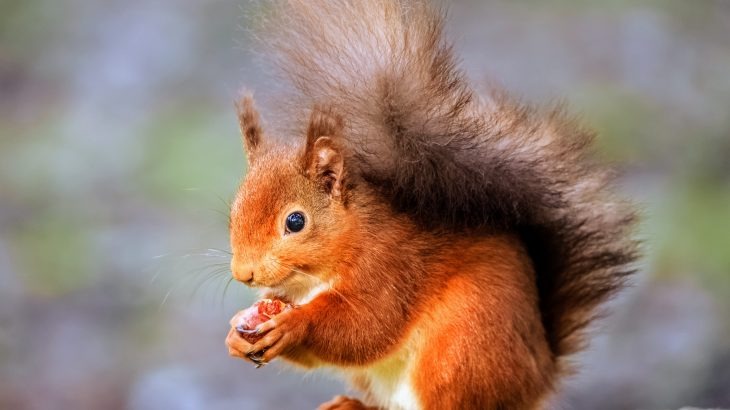 Red squirrels have a higher chance of survival and a greater number of offspring when they have the same neighbors for consecutive years.