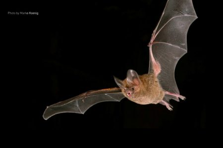 Today's Video of the Day from the Smithsonian Tropical Research Institute (STRI) describes why male fringed-lipped bats often have a strong-smelling, crusty substance on their forearms.