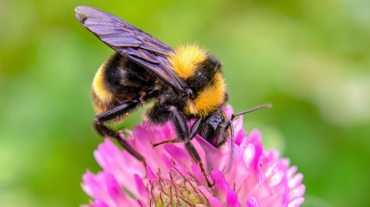 Bumblebees in low quality landscapes have higher levels of disease pathogens, according to a new study led by Penn State.