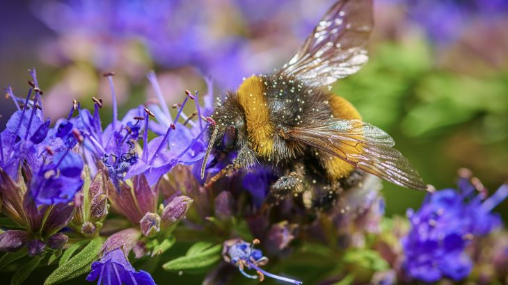 In a new study from the University of Exeter, researchers report that the biggest bumblebees take the time to memorize the location of flowers with the richest nectar.