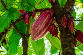A new study from Penn State has produced a potential solution to the issue of black pod disease among cacao trees