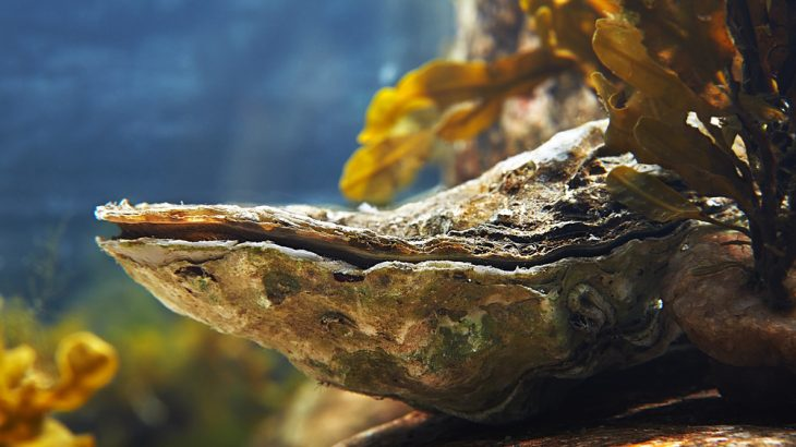 Restoring lost oyster reefs would help mitigate some of the destruction associated with coastal development, such as damage from storm surge and biodiversity loss.