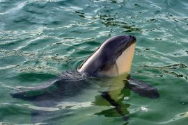 Greater conservation efforts are needed to protect harbor porpoises in the North Sea, according to a study published by Frontiers