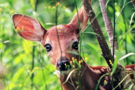 The researchers found that levels of cortisol in the saliva of newborn white-tailed deer fawns can be used to predict mortality.