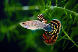 In a new study led by the University of Exeter, researchers have found that guppies have varying levels of self-control.