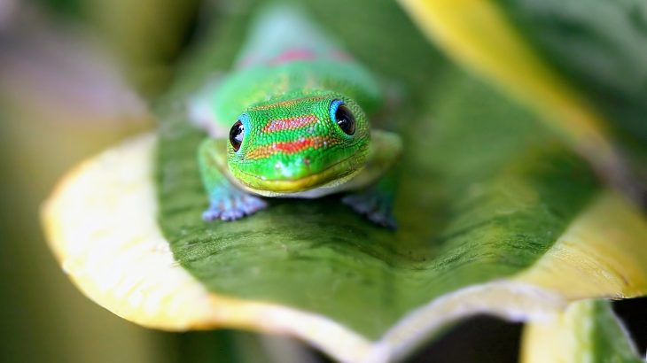 The study shows that the use of a penned release - enclosing the geckos in a pen to adapt to their new site - helps the lizards to become established.