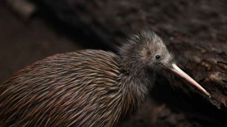 great spotted kiwi bird