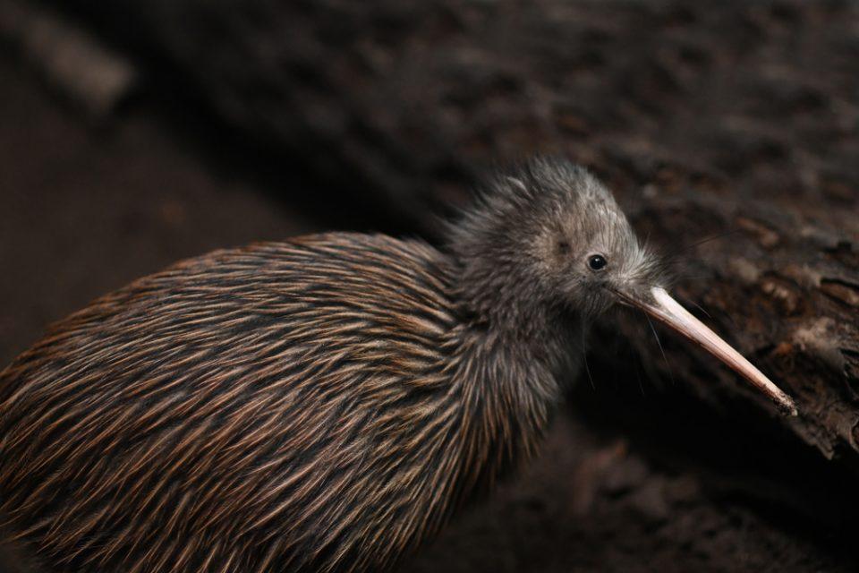 great spotted kiwi bird