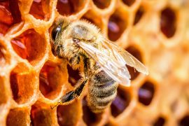 A major cause of colony collapse is queen bee failure, which occurs when queen bees lose their ability to maintain the worker bee population.