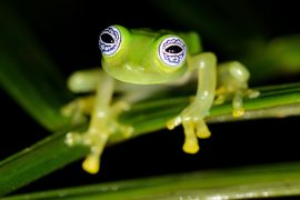 "In an exciting new study from UC Berkeley, PhD candidate Rebecca Brunner has discovered the same ""dancing"" behavior among glass frogs in Ecuador."