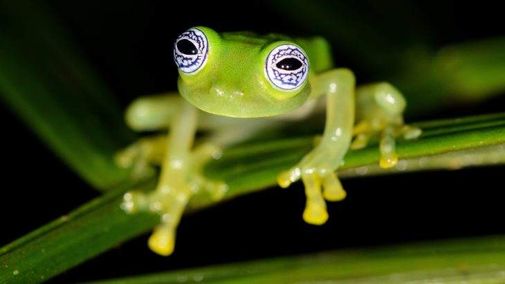 """In an exciting new study from UC Berkeley, PhD candidate Rebecca Brunner has discovered the same """"dancing"""" behavior among glass frogs in Ecuador."""