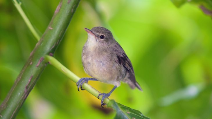 Young Seychelles warblers have better health outcomes when their elderly parents have help raising them, according to a new study from the University of East Anglia (UEA).
