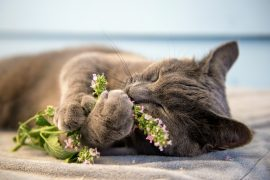 An international team of researchers has discovered that catnip and silver vine offer cats more than just feelings of intoxication and euphoria.