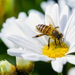 In a new study published by Cell Press, experts report that a quarter of all known bee species have not appeared in public records since the 1990s, even though the number of available records has increased.