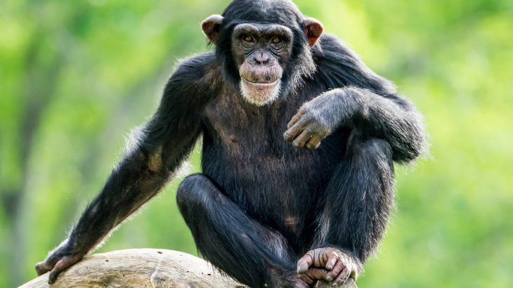 Chimpanzees are more likely to fight neighboring groups when their friends are involved, even though they are risking serious injury and even death