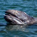 For the third consecutive year, gray whales have been turning up in poor condition or dead along their migration route on the Pacific coast of Mexico, the United States, and Canada.