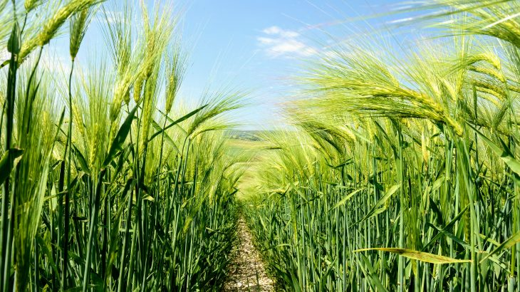Scientists at Penn State have discovered a trait that provides some cereal crops with roots that can push through dry, compacted soils