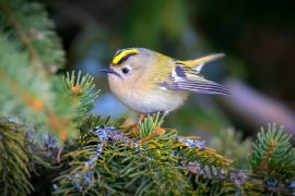 Birds grow thicker down feathers to survive the cold conditions in high elevations, according to a new study.