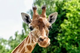 Socialization makes a big difference in the life expectancy of adult female giraffes, according to a new study from the University of Zurich.