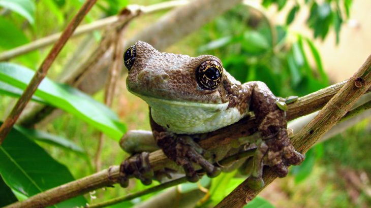 In a new study published by PLOS, scientists have observed some unexpected breeding behavior among Brazilian treefrogs.