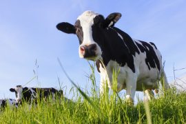Rising temperatures could have a major impact on livestock production of meat and milk in East Africa, according to a new study from CIAT.