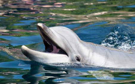 The 2010 Deepwater Horizon oil spill in the northern Gulf of Mexico had a lasting impact on the immune function of bottlenose dolphins,