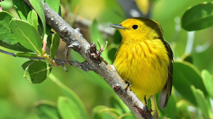 In a new study from UC Davis, experts have discovered that yellow warblers can track down their preferred climate over thousands of miles.