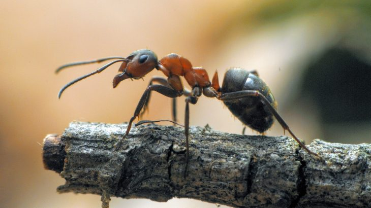 A species of jumping ants found in India, Harpegnathos saltator, engages in dueling tournaments to establish new leadership after the death of their queen.