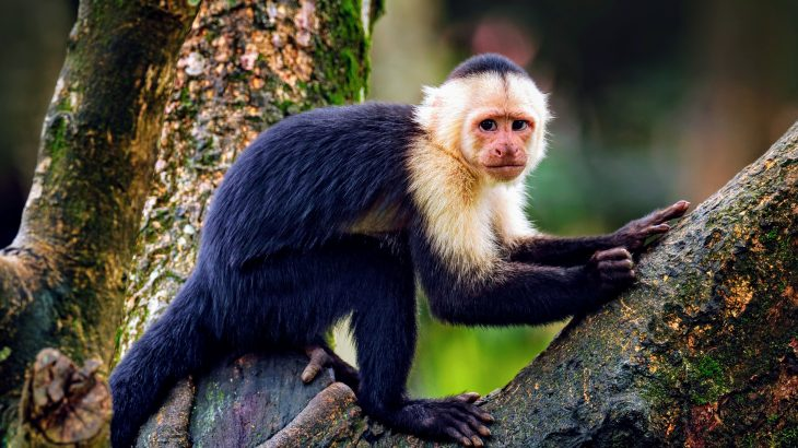 The genetic analysis has revealed new clues about the evolution of the exceptionally long lives and big brains of capuchin monkeys.