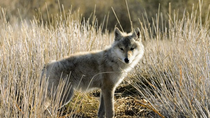Wolves do not pose as much of a threat to grazing livestock as previously thought, particularly when they have access to natural landscapes