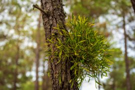 According to a new study from UC Riverside, mistletoe uses an unusual feeding strategy to keep its host alive.