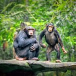 In a new study from Kyoto University, experts report that chimpanzees unite when faced with threats from other groups