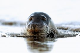 Ambient noise is increasing in the Arctic, and the researchers found that this threatens the reproductive success of bearded seals.