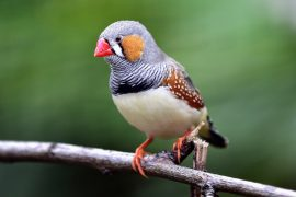 Scientists at the University of Alberta have discovered that zebra finches build their nests based on past experiences