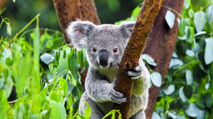 Koalas are being infected with a rapid-spreading virus that causes cancer, according to a new study from the Leibniz Institute for Zoo and Wildlife Research.